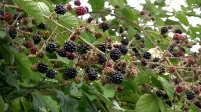 This Week's Harvest: Blackberries | Tips and recipes