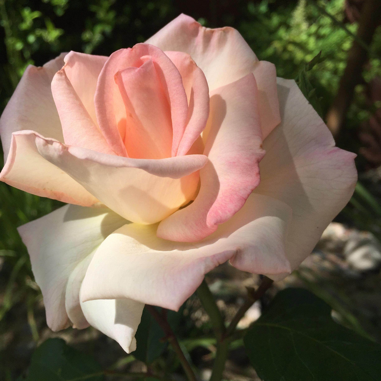 фото чайная роза в саду