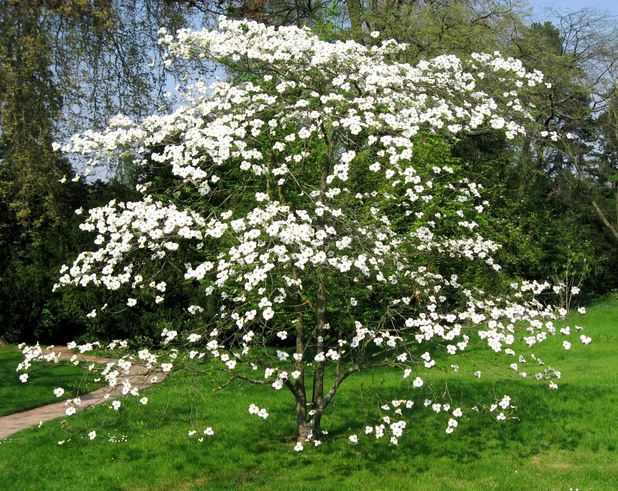 White Flowering Dogwood (6m high & wide) A profusion of large white ...