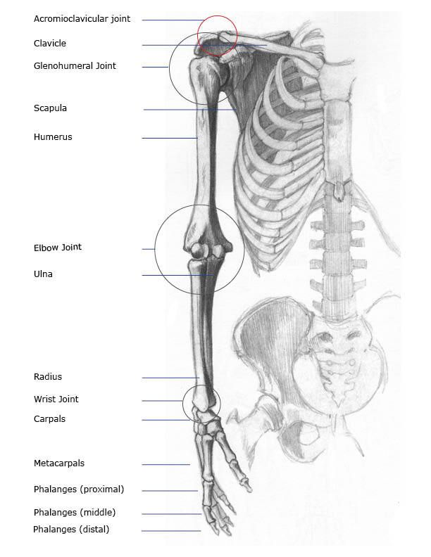 basic daigram of the bones of the arm and hand | anatomy, Skeleton