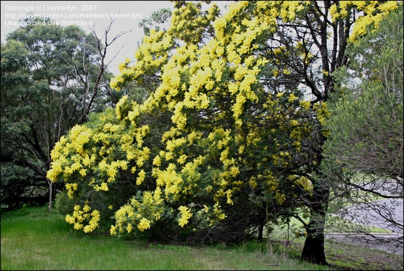 Early Black Wattle Green Wattle Acacia Decurrens Height 10 12 Ft 3 3 6 M 12 15 Ft 3 6 4 7 M Spacing 8 10 Horticulture Plants Catchment Area