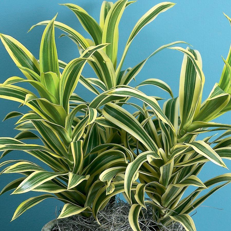 Song Of India Dracaena (L20975hp) Nursery Plants, Indoor