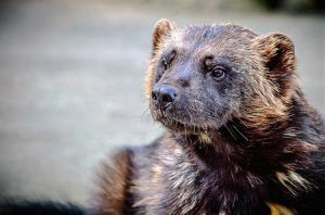 Have you ever seen a wolverine in Big Sky? They're pretty rare to spot, but they do live here! Here are some interesting facts about them!