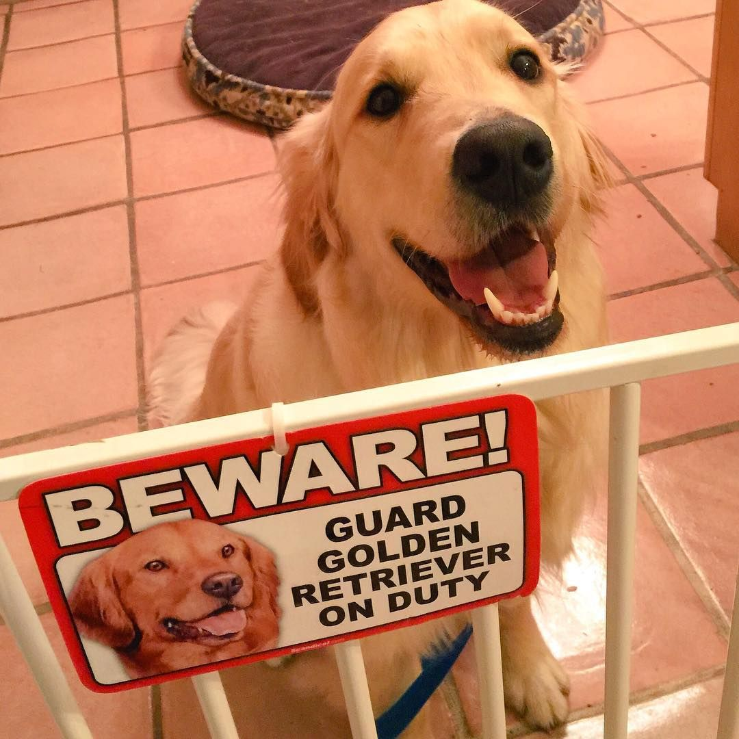 """""""When you're Nana buys you a guard dog sign, you give your meanest pose...wait, I mean, you give your biggest smile! Calvin the Golden Retriever ♥"""