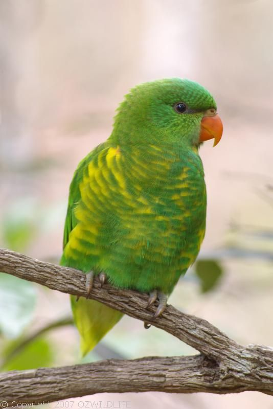 Scaly Breasted Lorikeet Trichoglossus Chlorolepidotus Cute Birds Australia Animals Australian Birds