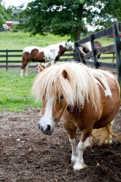 I Have Actually Never Been Able To Come Across A Mini Horse And - Adorable miniature horses provide those in need with love and care
