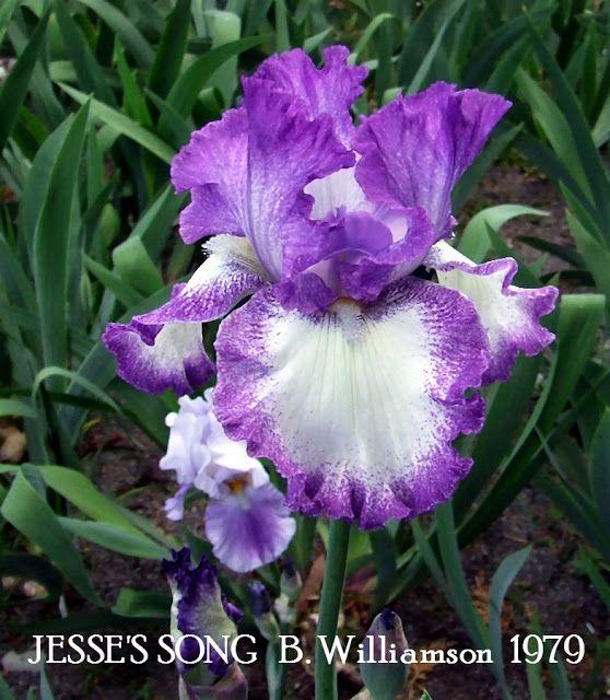 Tall Bearded Iris Jesse S Song Heritage Irises Iris Garden Iris Flowers Container Flowers
