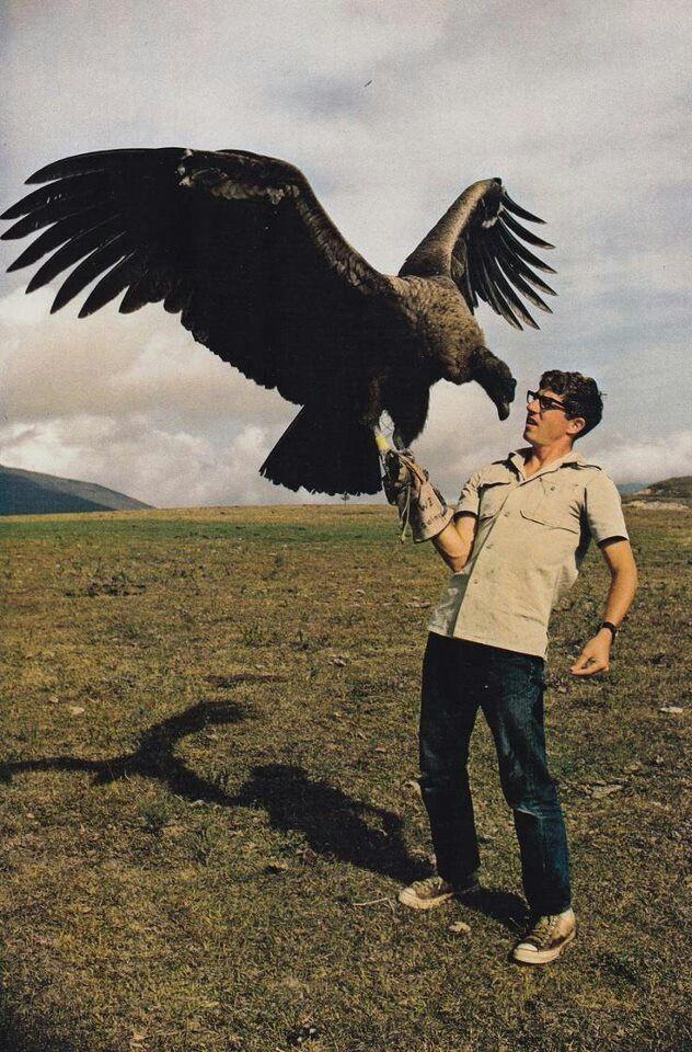 The California condor, Gymnogyps californianus, is a New World ...
