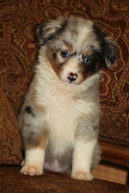 Blue Horizon Toy Australian Shepherds Isn T This The Cutest Lil Puppy Australian Shepherd Toy Australian Shepherd Australian Shepherd Dogs