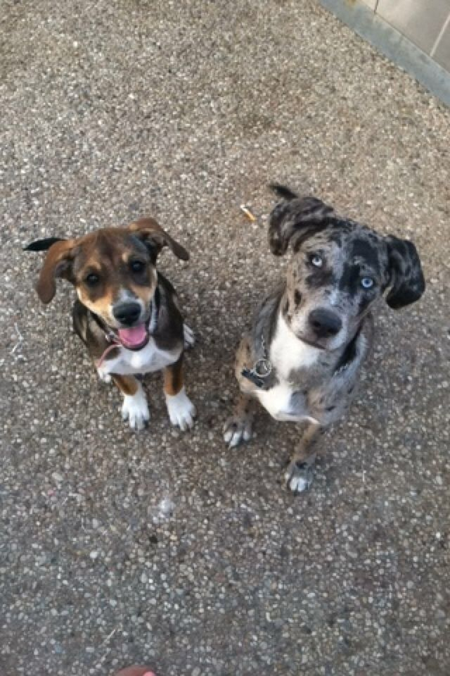 Lab Beagle Mix And Catahoula Blue Healer Mix With Images