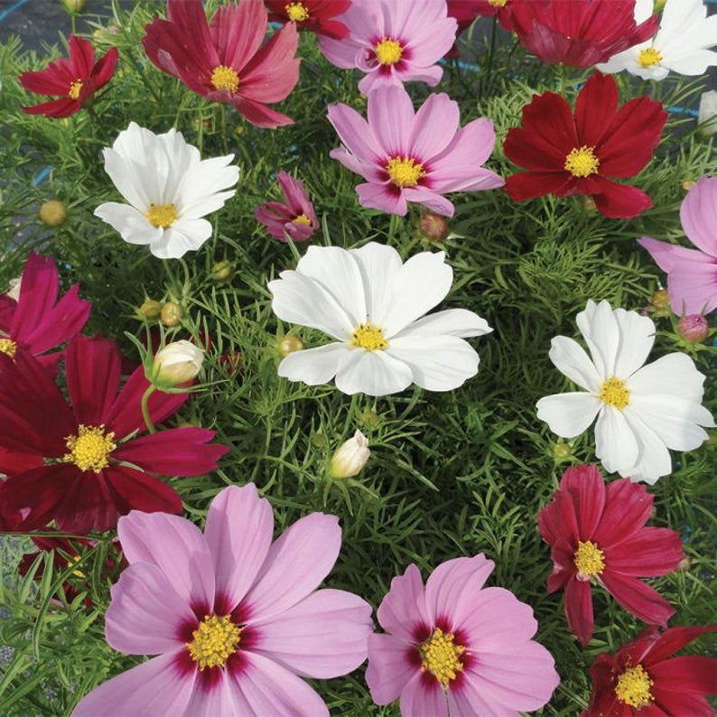 Cosmos Seeds Mixed Organic Heirloom Seeds Flower Etsy In 2020 Flower Garden Images Cosmos Flowers Flower Landscape