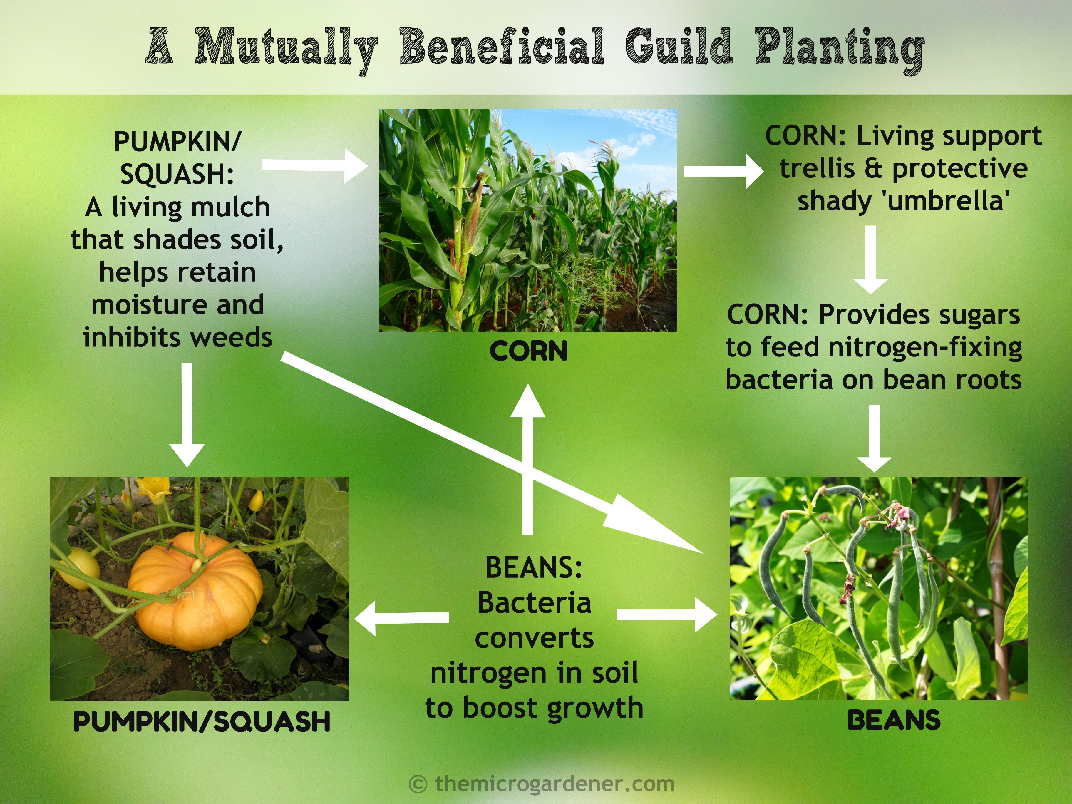Planting tip interplant the three sisters beans corn three sisters beans corn pumpkinsquash a mutually beneficial guild planting pooptronica Images