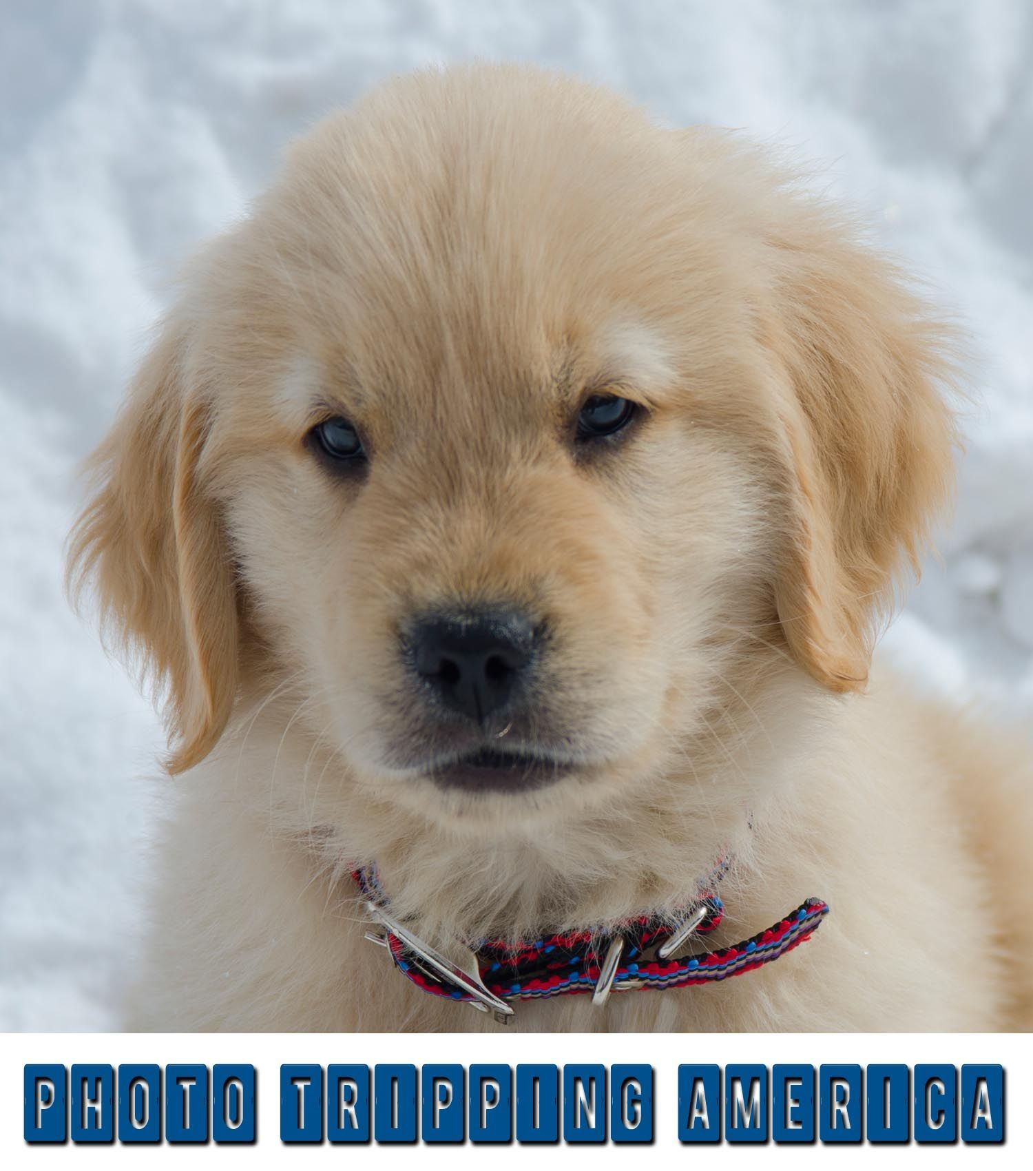 Golden Retriever Puppy Doesn T Quite Know What To Think About The Snow Goldenretriever Puppy Snow Retriever Puppy Puppies Pets