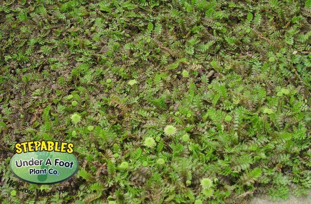 Plants That Tolerate Foot Traffic Plants Grass Alternative Landscaping Plants