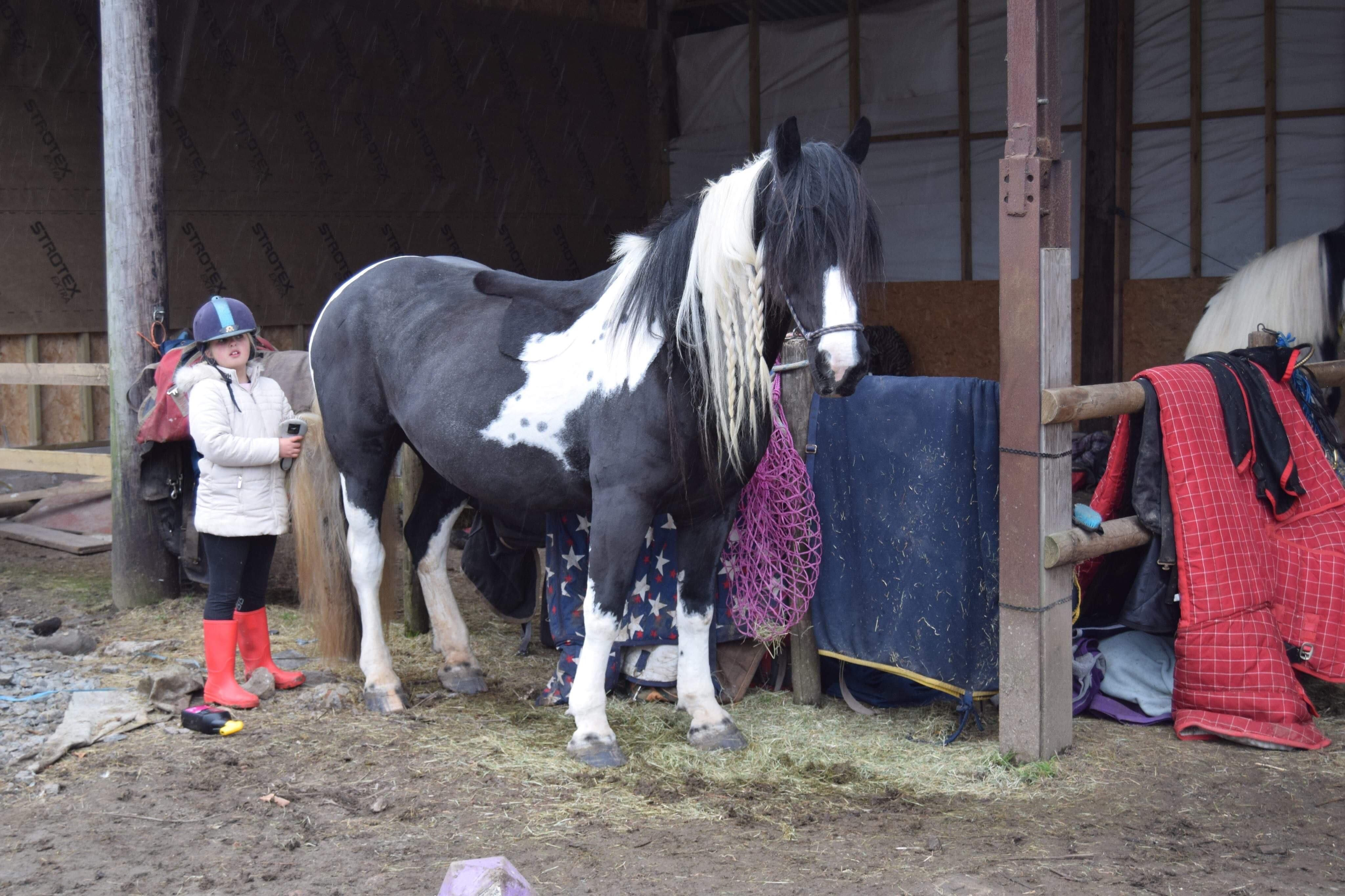 Betty Jones Irish Cob Freshly Clipped Getting Very Excited About Her Dinner Irish Cob Horse Lover Very Excited