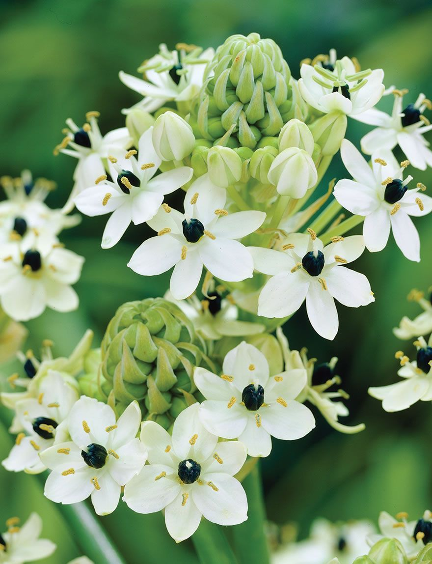 Pearly White Petals With A Black Centre This Ornithogalum Flowers
