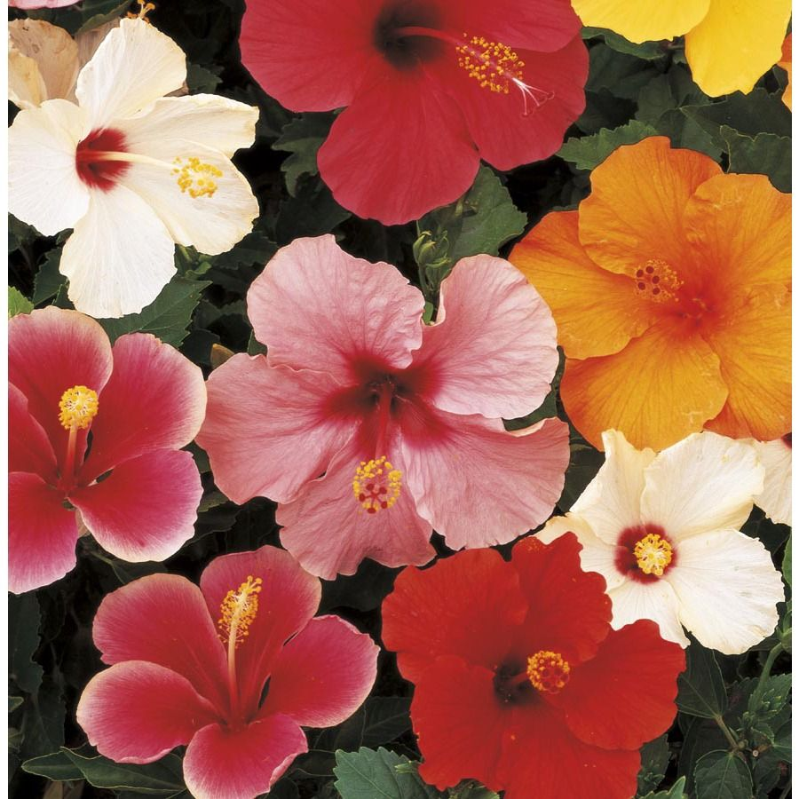 3 Quart Tradewinds Hibiscus Flowering Shrub On 62815 I Purchased
