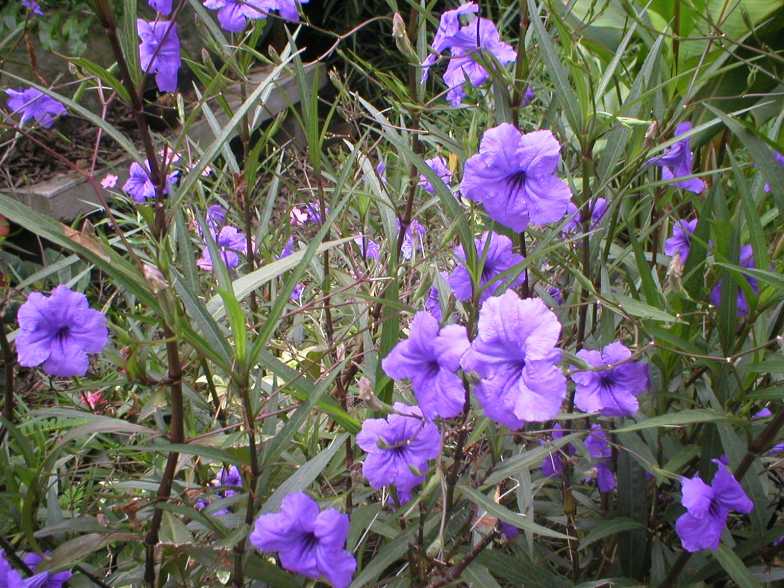 Plants Of Belize The Purple Ones Are Also Called Shower And Mexican Bluebell