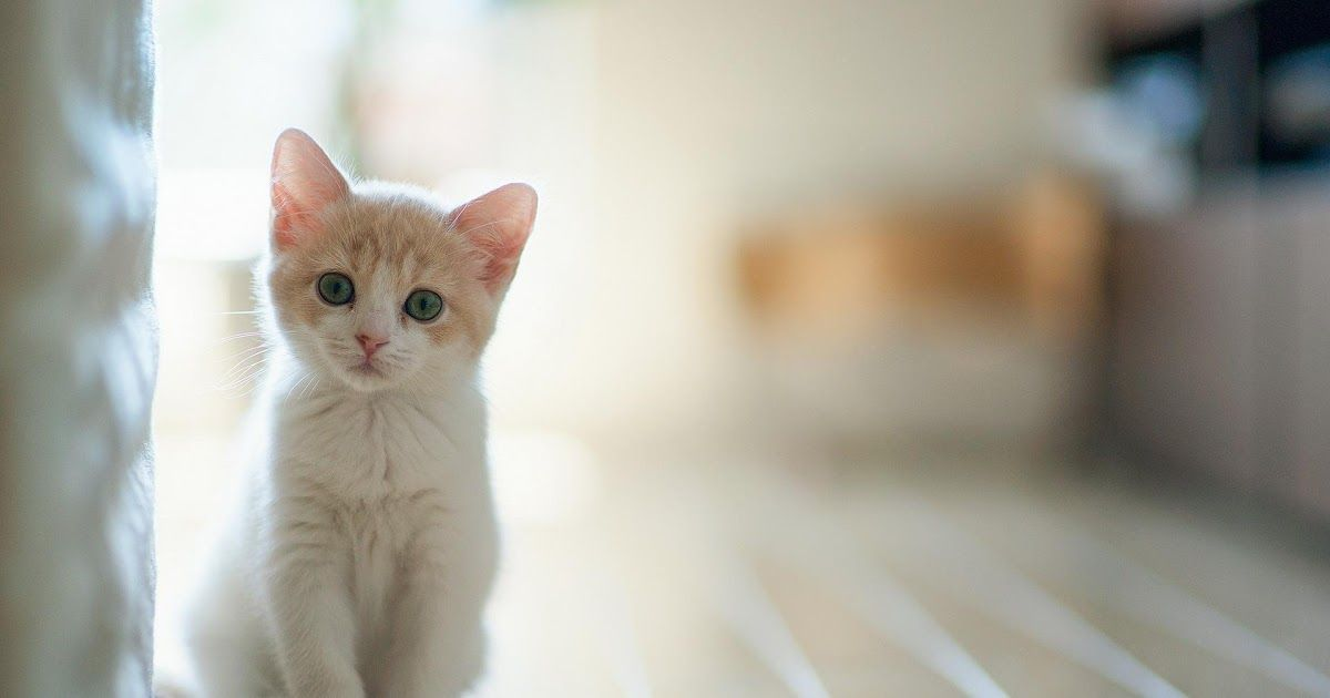 Paling Bagus 21 Wallpaper Desktop Kucing Lucu White Cat Desktop Wallpapers Wallpaper Cave Wallpaper Kucing Lucu By Ainulhaq Stud Di 2020 Cute Kittens Piaraan Kucing