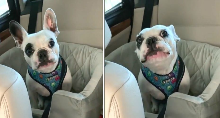 Frenchie Bulldog Get Upset That The Dog Park Is Closed Cute