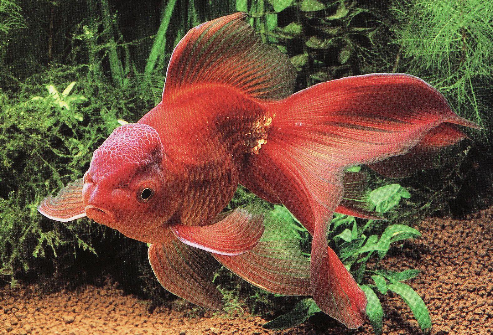 Pin by ティラミス on 欲しいもの | Pinterest | Goldfish, Fish and ...