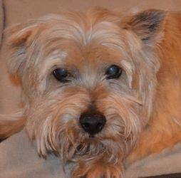 Adopt Humphrey On With Images Norwich Terrier Terrier Dogs Pet Photographer