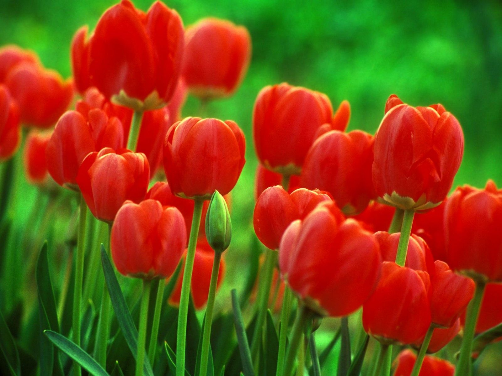 Tulips Bulb Flowers Amazing Flowers Red Tulips