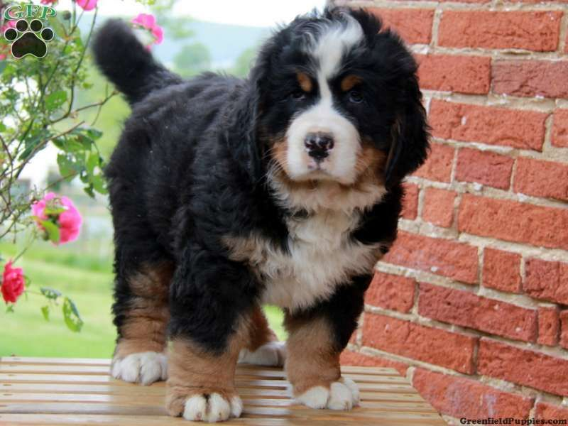 Mikey Bernese Mountain Dog Puppy For Sale From Gap Pa Greenfield Puppies Mountain Dogs Bernese Mountain Dog