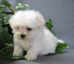 Maltese Dogs Tumblr Maltese Puppy Teacup Puppies Maltese