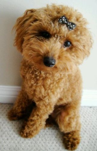 Toy Poodle Poodle Dog Cute Animals