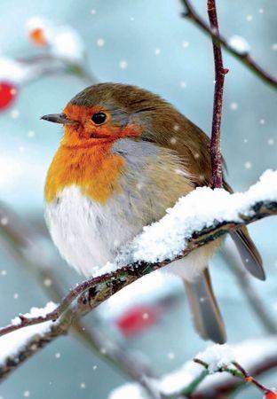 A Christmas Visitor Oiseaux Des Jardins Peinture Oiseau Et