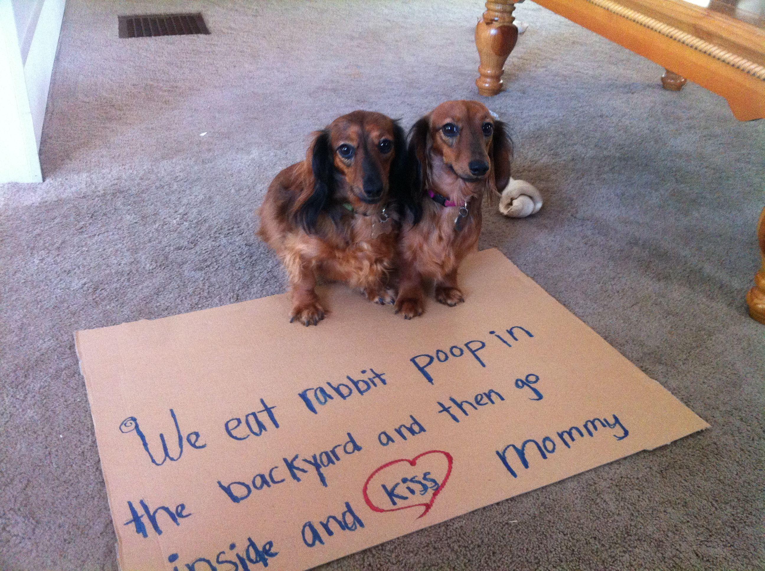 100 best dachshund shaming images on pinterest | funny stuff