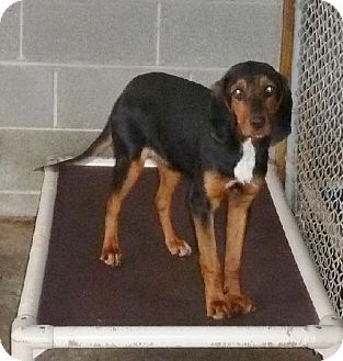 Ashland Va Black And Tan Coonhound Beagle Mix Meet Olive A Dog