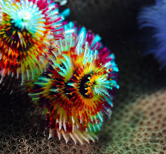 Five Fast Facts About Christmas Tree Worms Luxury Yachts Whitsundays Bareboating And Crewed Luxury Charters Ocean Creatures Sea Creatures Sea Animals