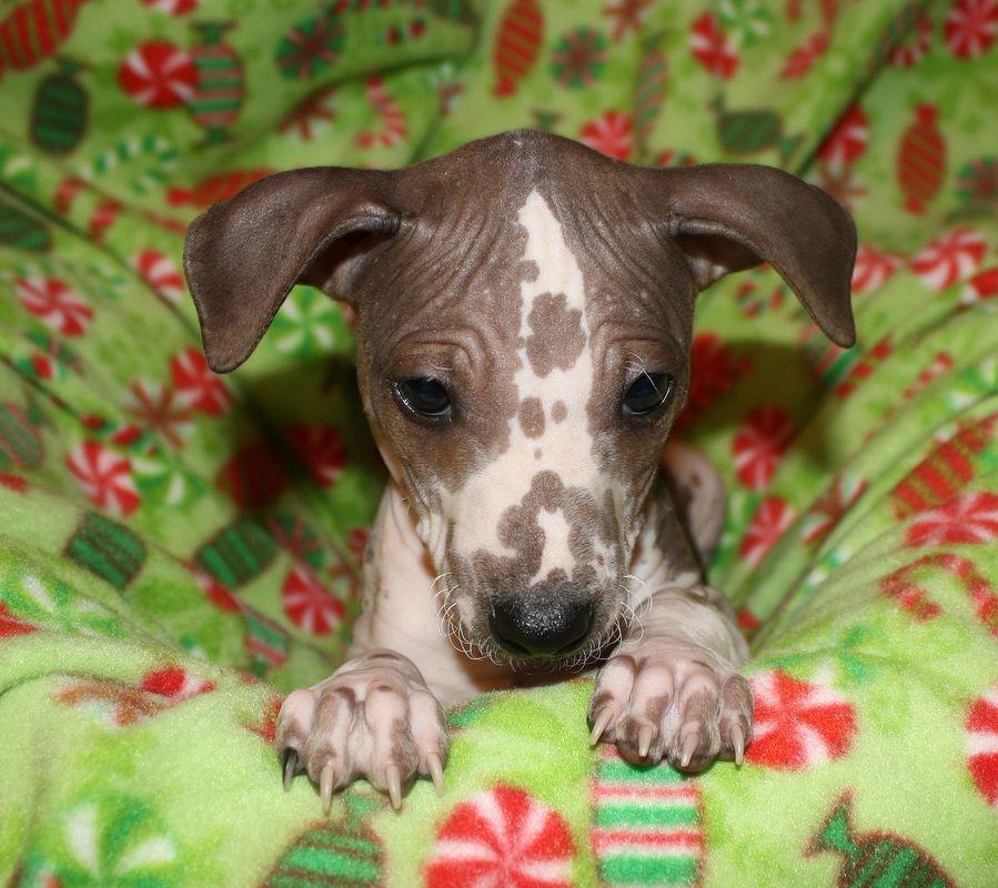 The distinct American Hairless Terrier breed began in 1972