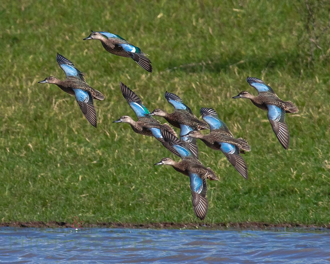 Blue-winged teal, scientific name Spatula discors