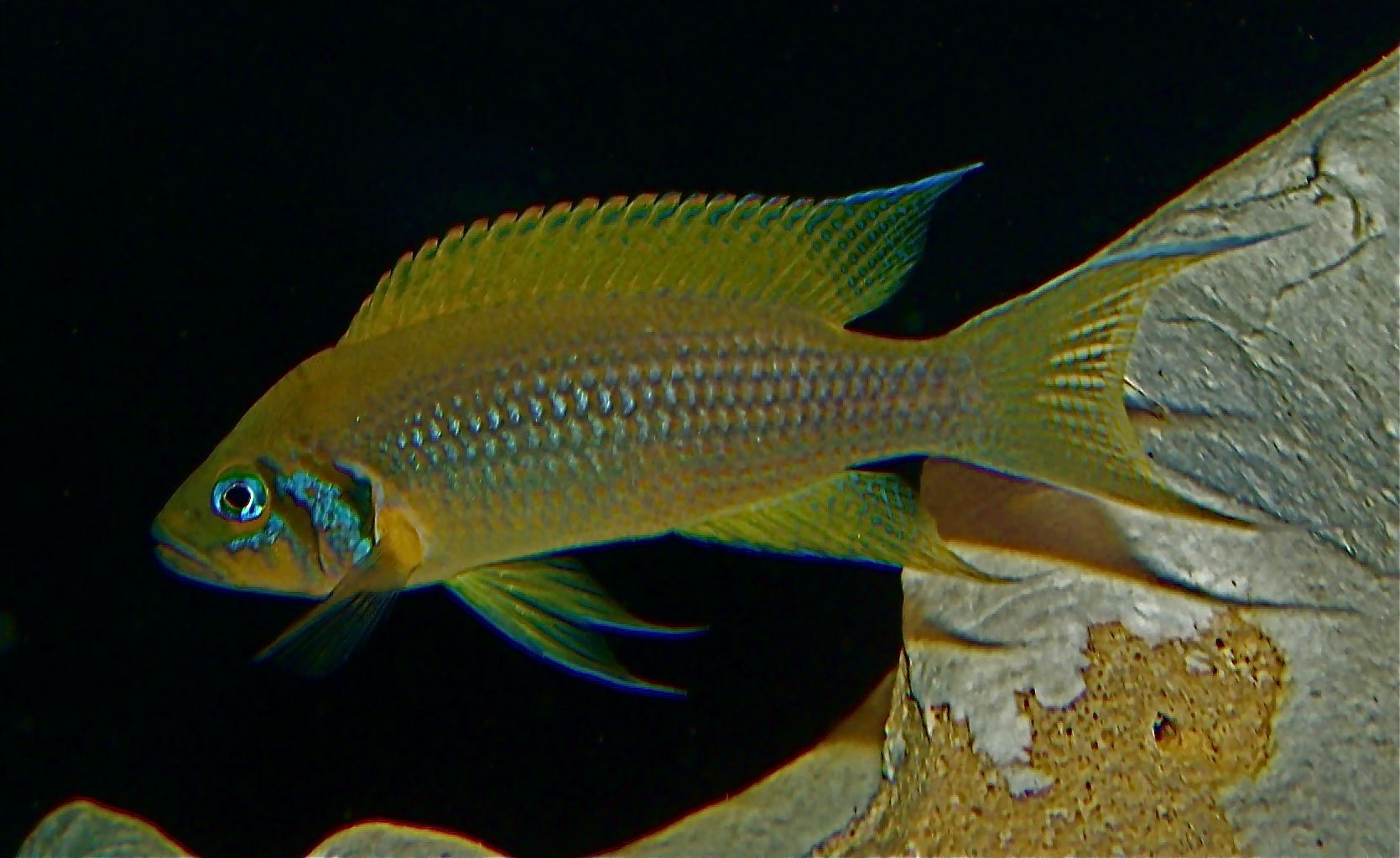 A glittering beauty is an apistogram of ramirezi and its contents in a home aquarium