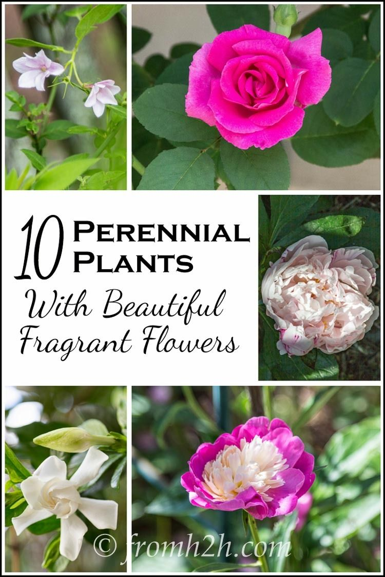 10 Beautiful Perennial Plants With The Most Fragrant Flowers Best