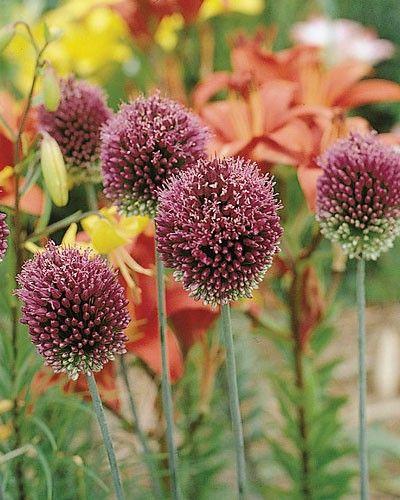 Allium Sphaerocephalon Drumsticks Top Size Bulbs Allium Sphaerocephalon Allium Flowers Perennials