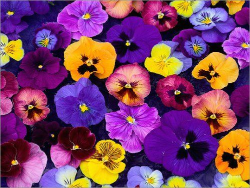 Beneath The Petals Fun Facts About Pansies And Violas Pansies Flowers Pansies Flower Garden Plants