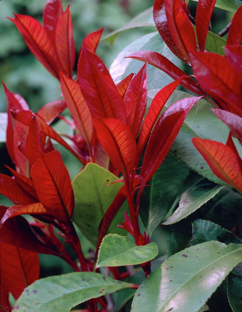Red-Leafed Photinia | 红叶思楠 | East Asia | 东亚洲 | The leaves of this shrub, closely related to apples, are bright red when new in spring. This makes it a valuable garden plant.