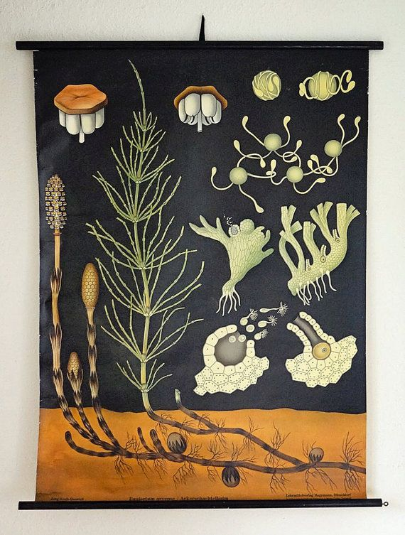 vintage botanical wall hanging poster of horsetail seed  development – available at AtticAntics on Etsy, $195.00