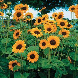 Sunflower Hopi Warna Bunga Sedikit Orange Dan Memiliki Tangkai Yang Cukup Tinggi Bunga Ini Tidak Memakan Tempat Dan Cocok Un Menanam Bunga Biji Bunga Matahari