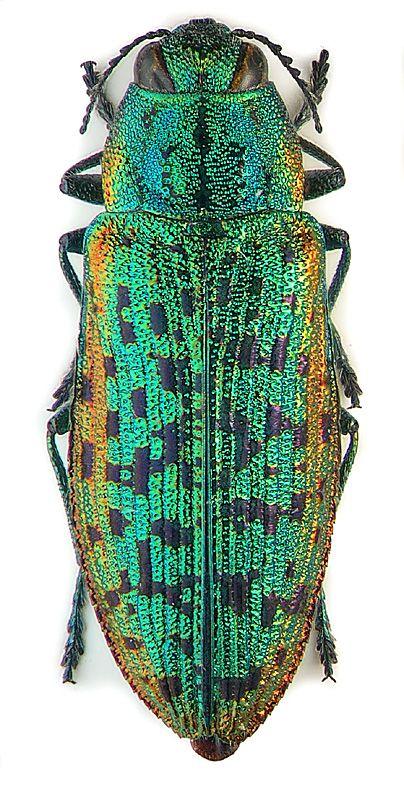 Buprestidae: Palmar suvorovi