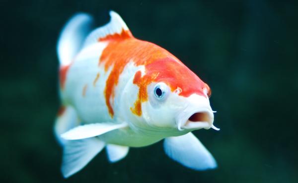 600 369 pixeles el m o de tatuajes pinterest for Koi fish habitat