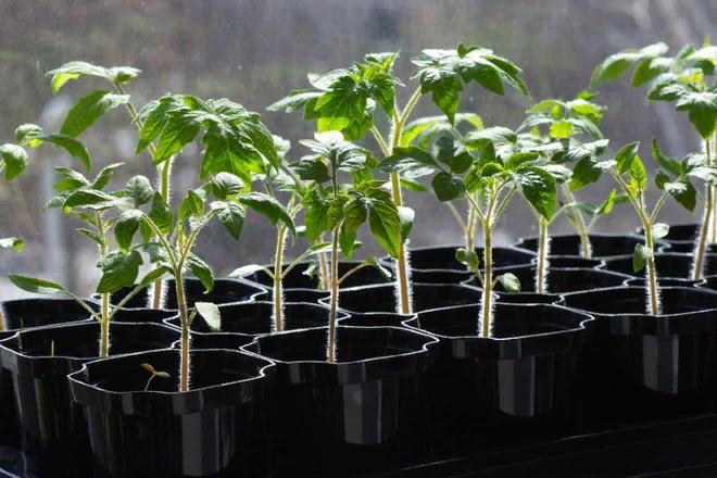 проращивание семян помидоров перед посадкой на рассаду