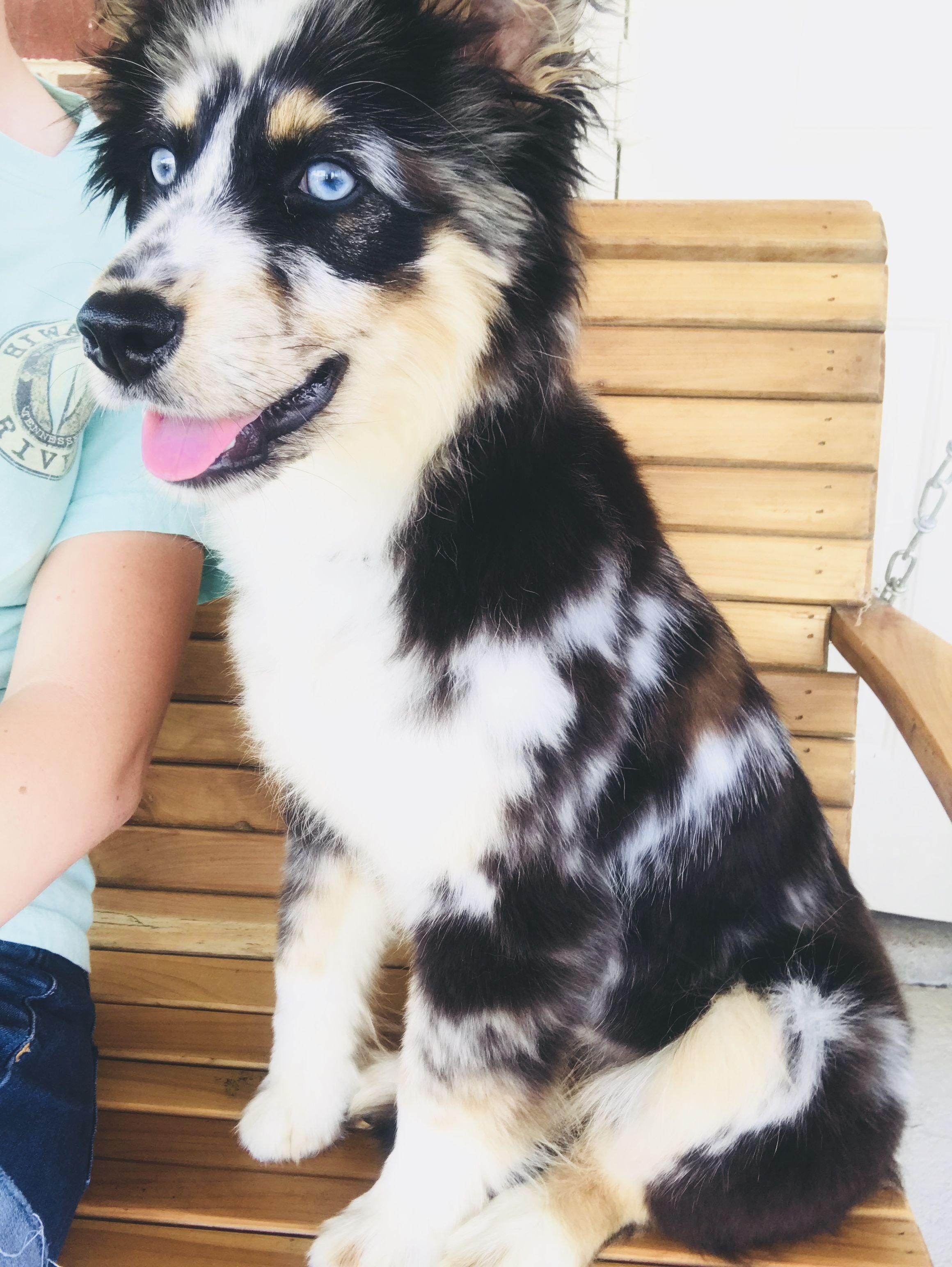 Blue merle aussie crazy dog lady australian shepherd