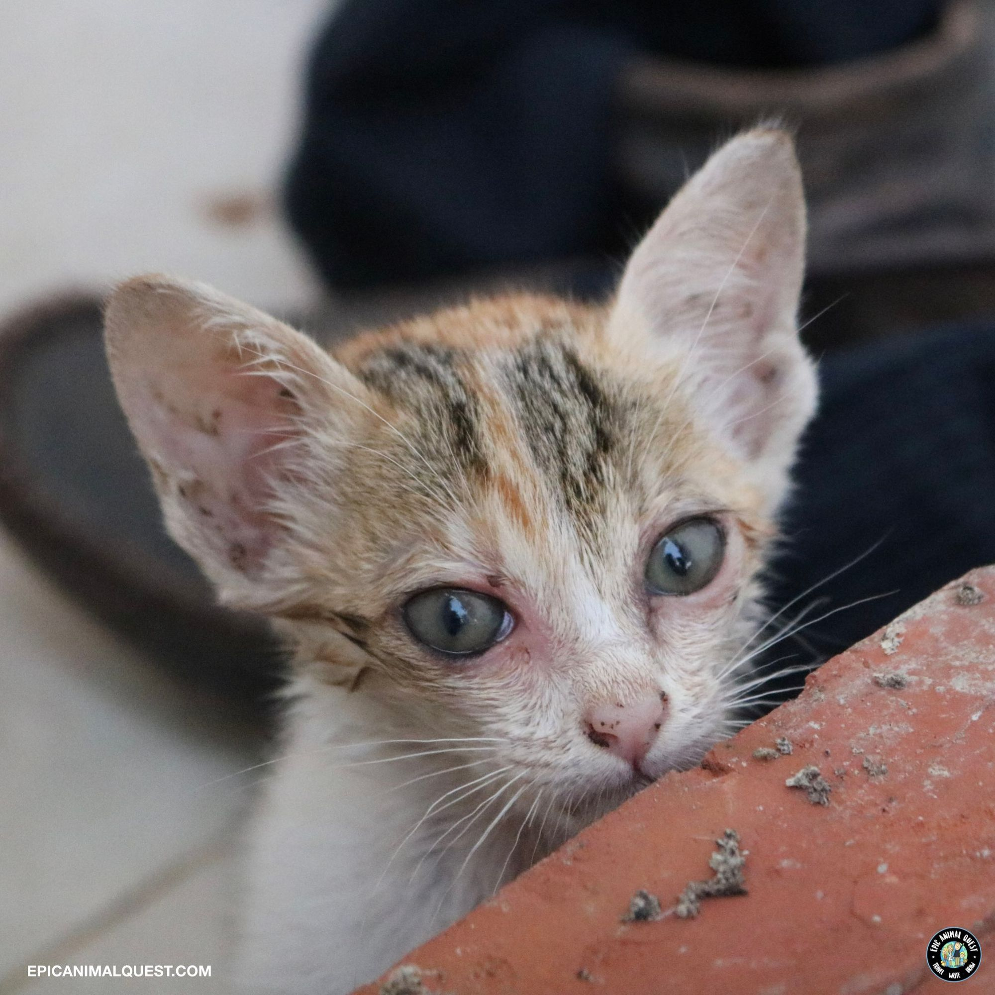 Kitten We Met During A Spay Neuter Event In Siem Reap Cambodia In 2020 Animal Activism Kitten Neuter
