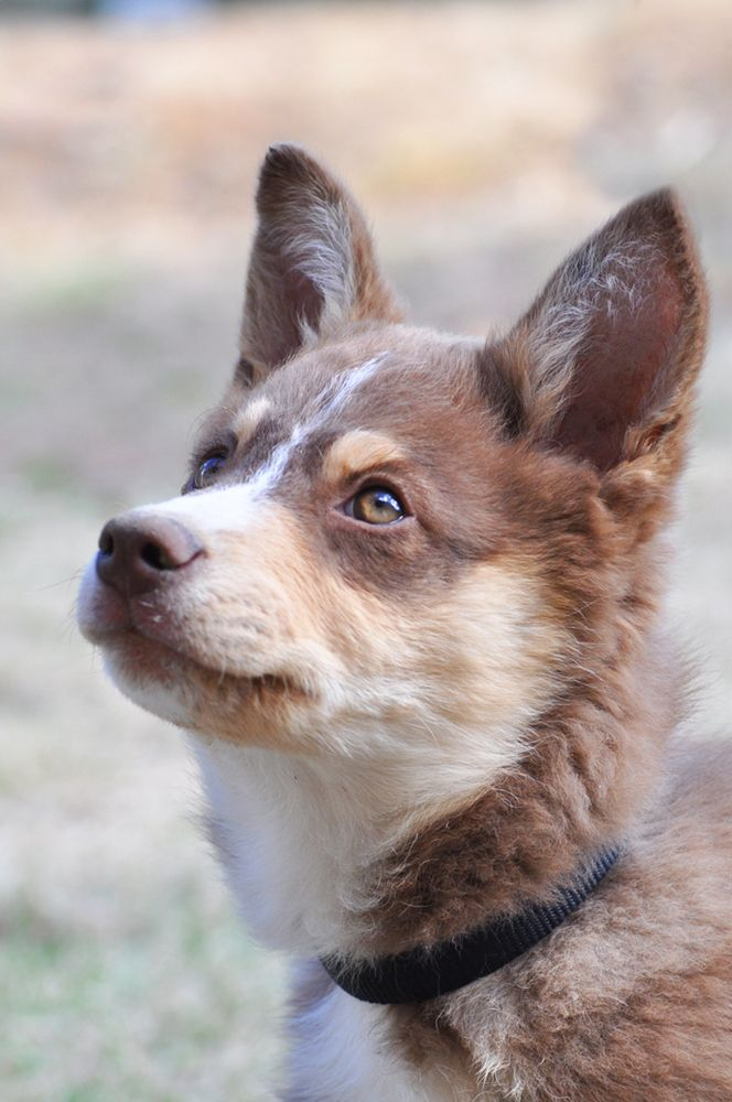 Lapiporokoira Lapponian Herder Pup Dog Breeds Wolf Dog Dogs