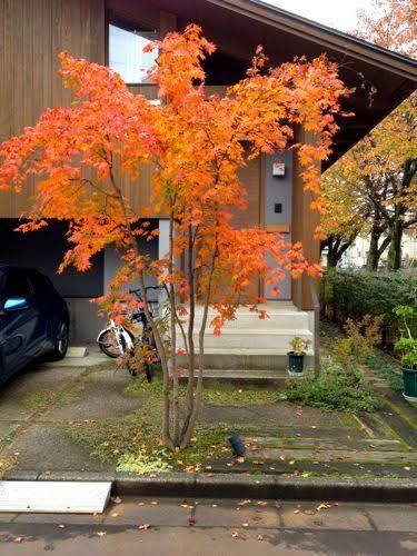 「コハウチワカエデ」の画像検索結果 エクステリア デザイン In 2019 Front Yard